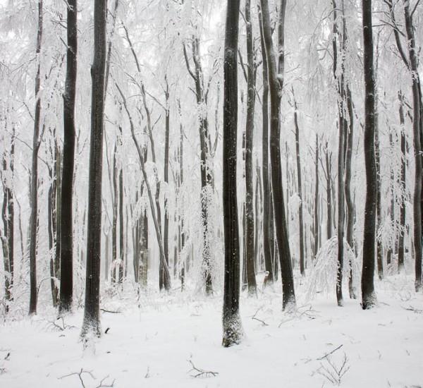 Buchenwald im Schnee