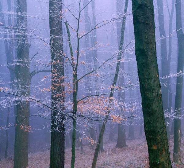Frostbuche