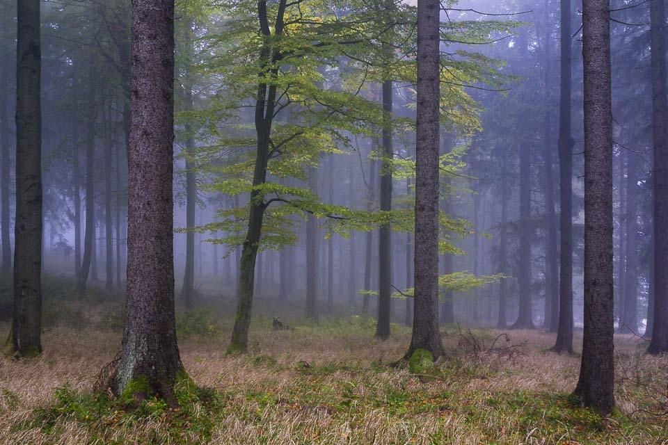 Buche im Thüringer Wald