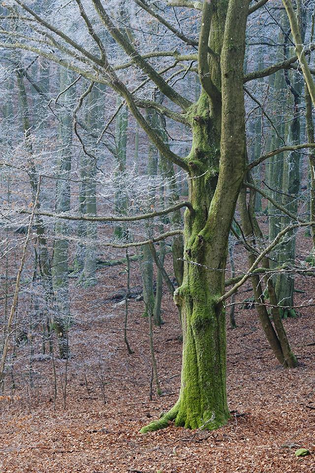 moosbaum